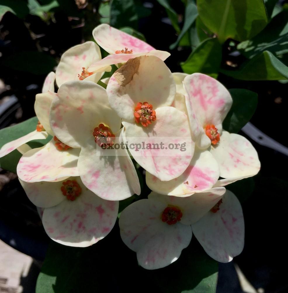 Euphorbia millii Orchid Euphorbia 25