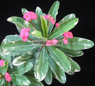 Euphorbia millii 'Magenta Madness' 12