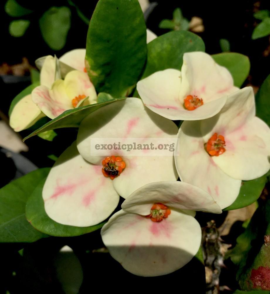 Euphorbia millii Endless Love 25
