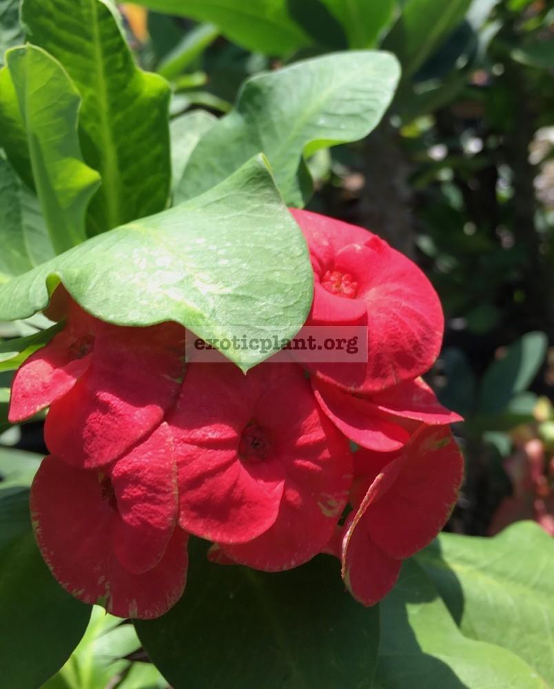 Euphorbia millii Curly Red / эуфорбия миля Керли Ред 12-25
