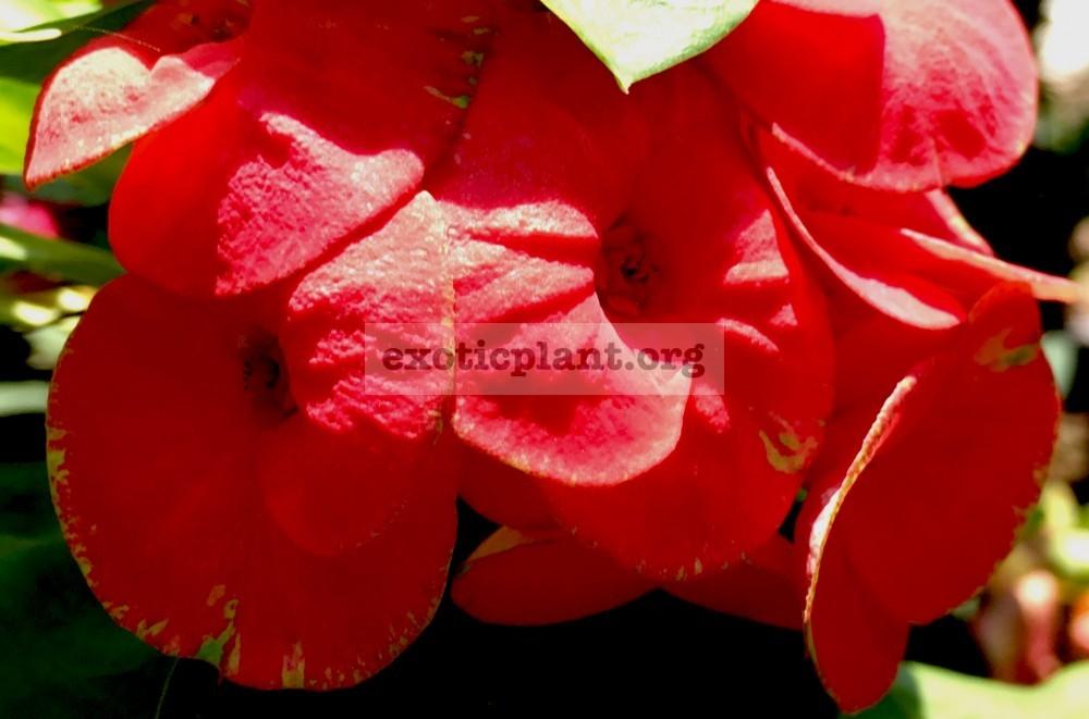 Euphorbia millii Prince Euphorbia 25