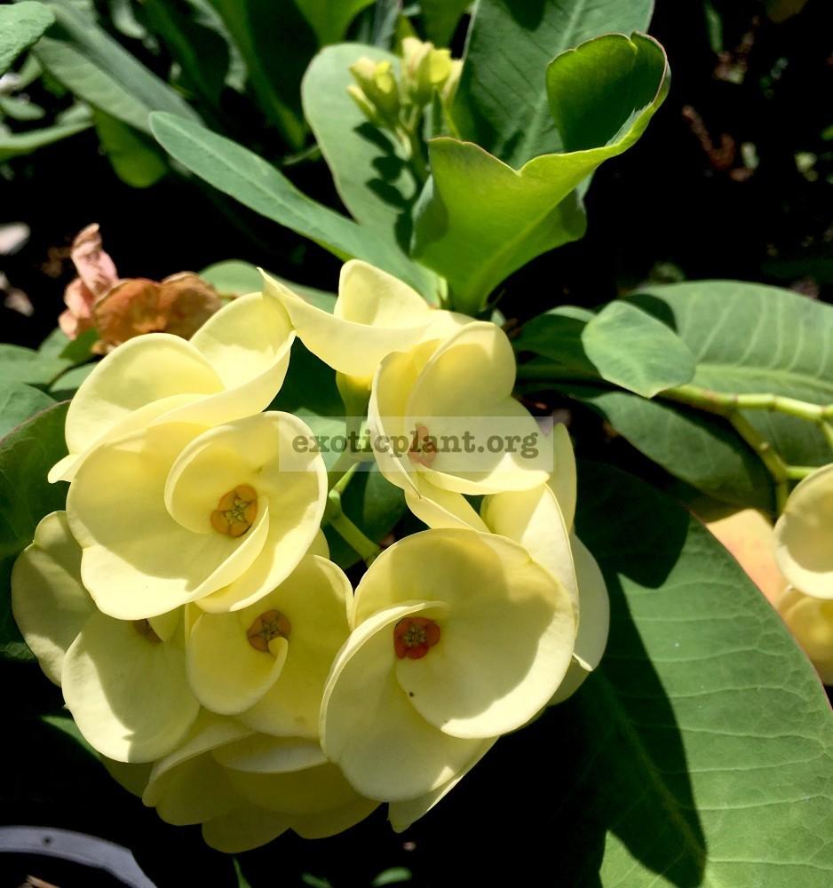 Euphorbia millii King of Yellow Dream 25