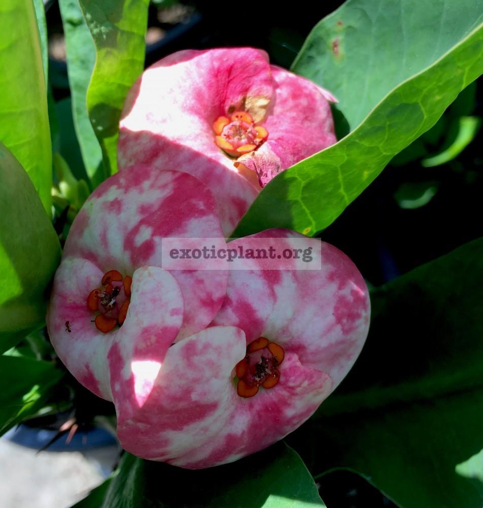 Euphorbia millii Big Blessing 25