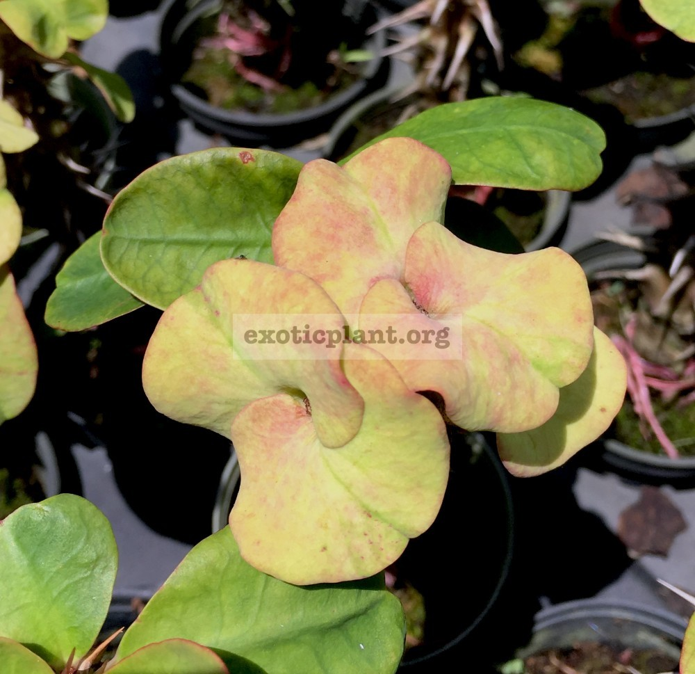 Euphorbia millii Velvet Perfection / эуфорбия миля Вельвет Перфекшн 12-25