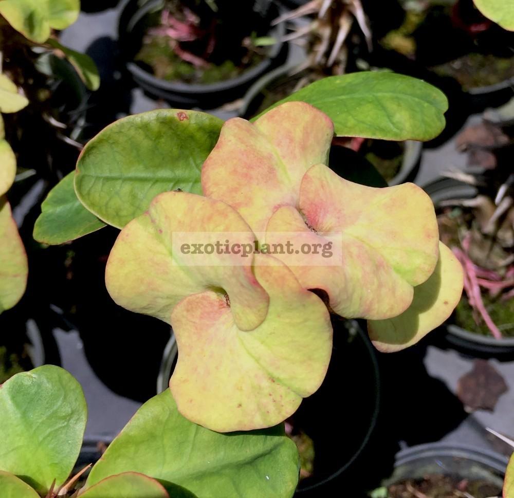 Euphorbia millii Velvet Perfection 25