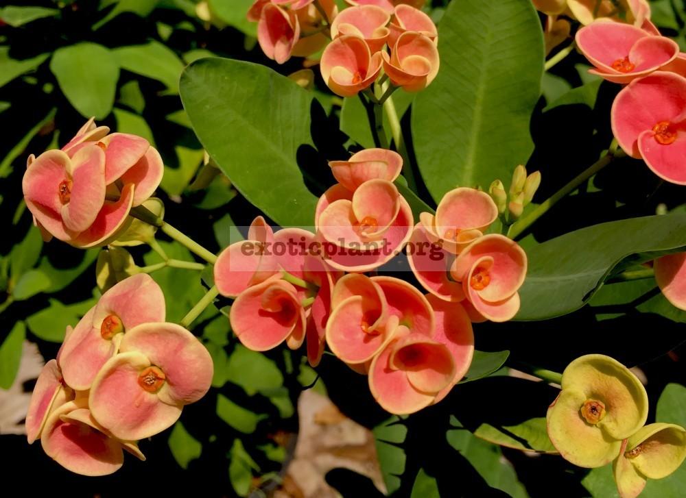 Euphorbia millii Orange Ice 12