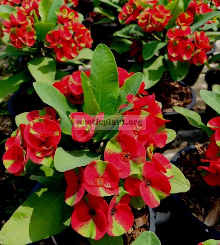 Euphorbia millii Red Millionare 25