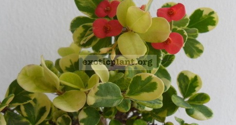 Euphorbia millii dwarf form syn Euphorbia milii Variegated Sean Heart 20