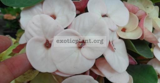 Euphorbia milii Pale 12