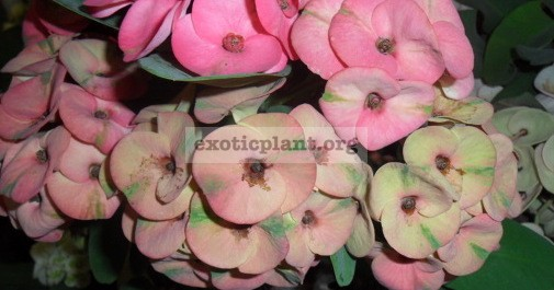 Euphorbia milii Pink Green 12