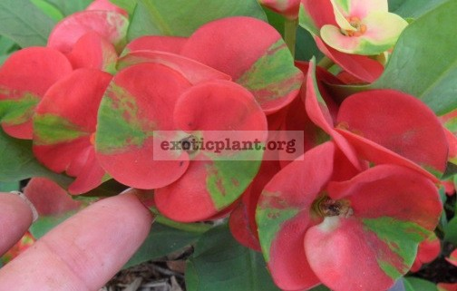 Euphorbia milii Red Green 12