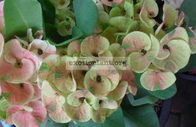 Euphorbia milii Salmon Green 12