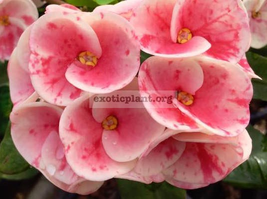 Euphorbia millii Beauty Queen / эуфорбия миля Бьюти Квин 12-25
