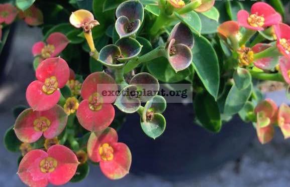 Euphorbia milli dwarf form 20