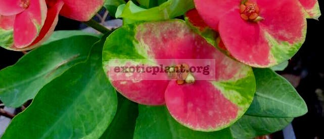 Euphorbia millii Flame of Forest 25