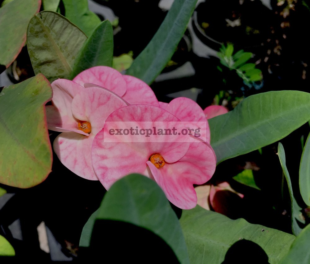 Euphorbia millii grandiflora Siam Diamond 25
