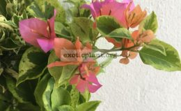 Bougainvillea multigrafted variegated #11 1800 – фото до опадения листьев