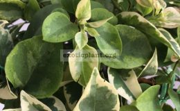 Bougainvillea multigrafted variegated #15 1200 – фото до опадения листьев