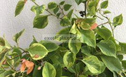 Bougainvillea multigrafted variegated #16 1800 – фото до опадения листьев