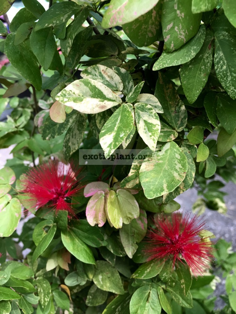Callistemon variegated 65