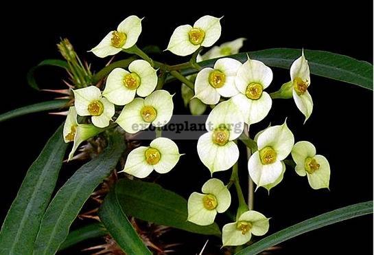 Euphorbia annamarieae 15