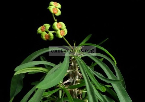 Euphorbia brachyphylla 15