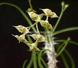 Euphorbia genoudiana 15