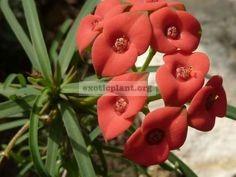 Euphorbia gottlebei 15