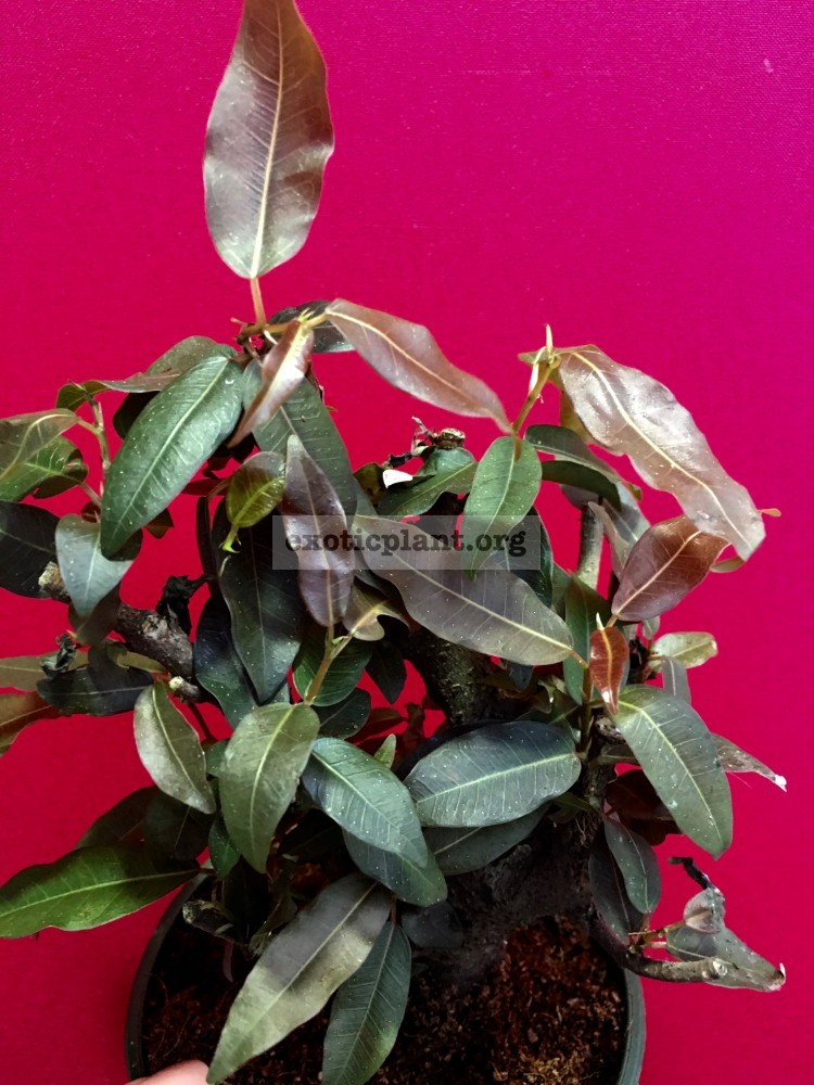 ficus sp brown leave 50