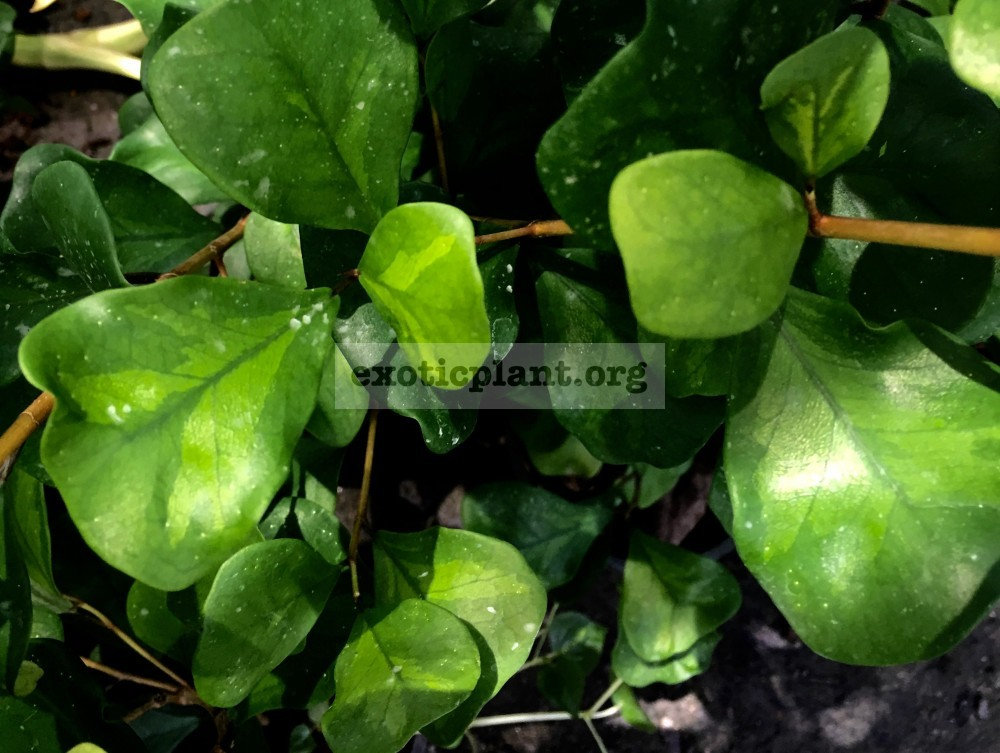 ficus triangularis Green Dream (yellow mediovariegated) 40