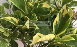 Bougainvillea multigrafted variegated #3