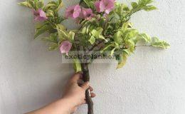 Bougainvillea multigrafted variegated #6