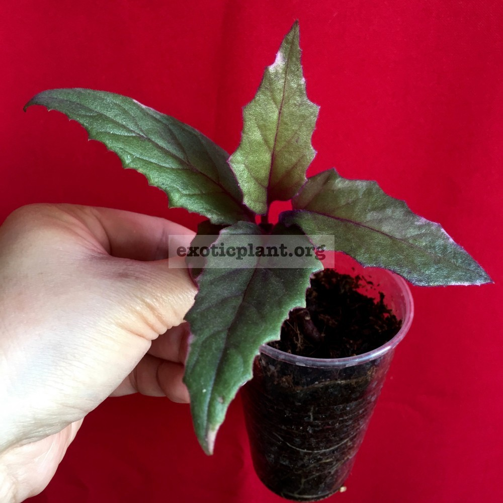 Gynura aurantiaca variegated 7-12