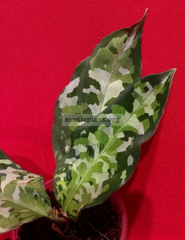 Aglaonema pictum Tricolor 120-200