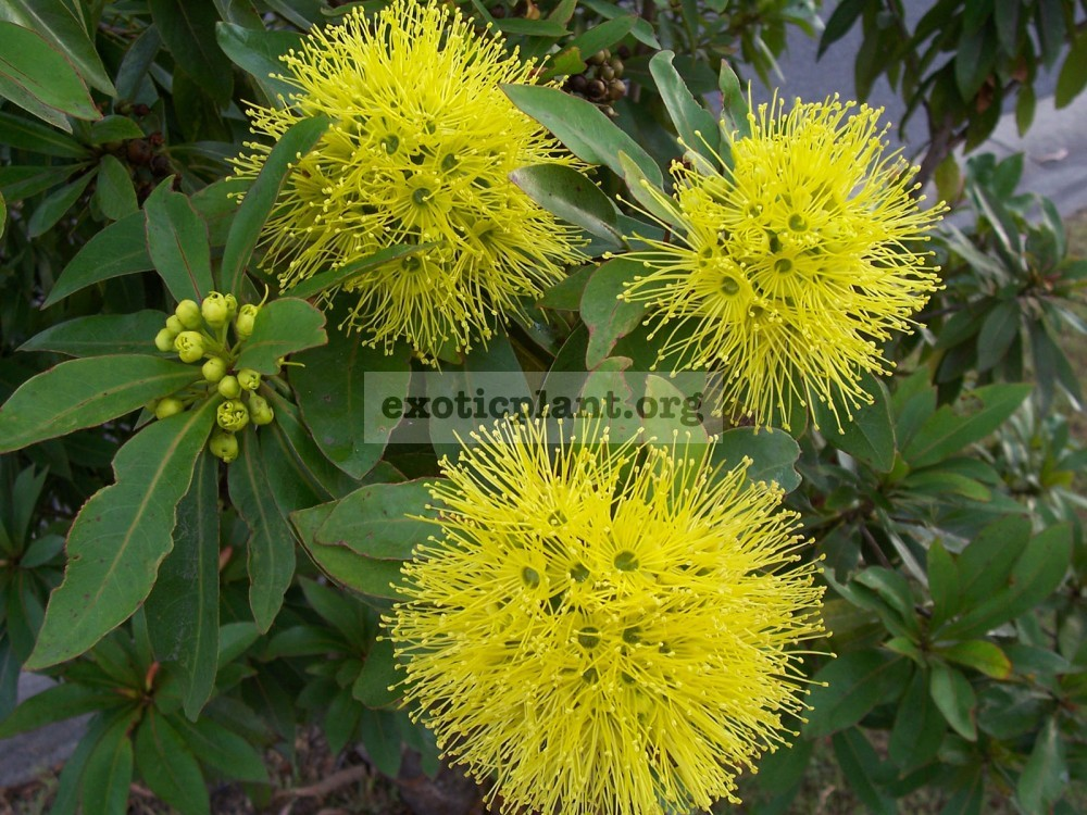 Xanthostemon chrysanthus (yellow flower) (EP) 20