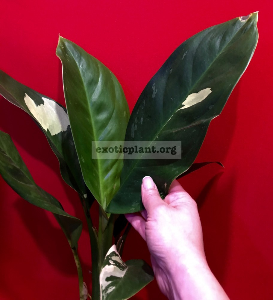 aglaonema Best Offer 40