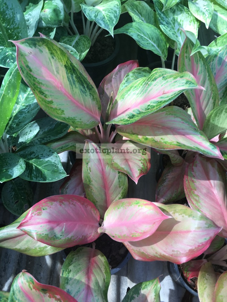 Aglaonema Miracle Pink 35