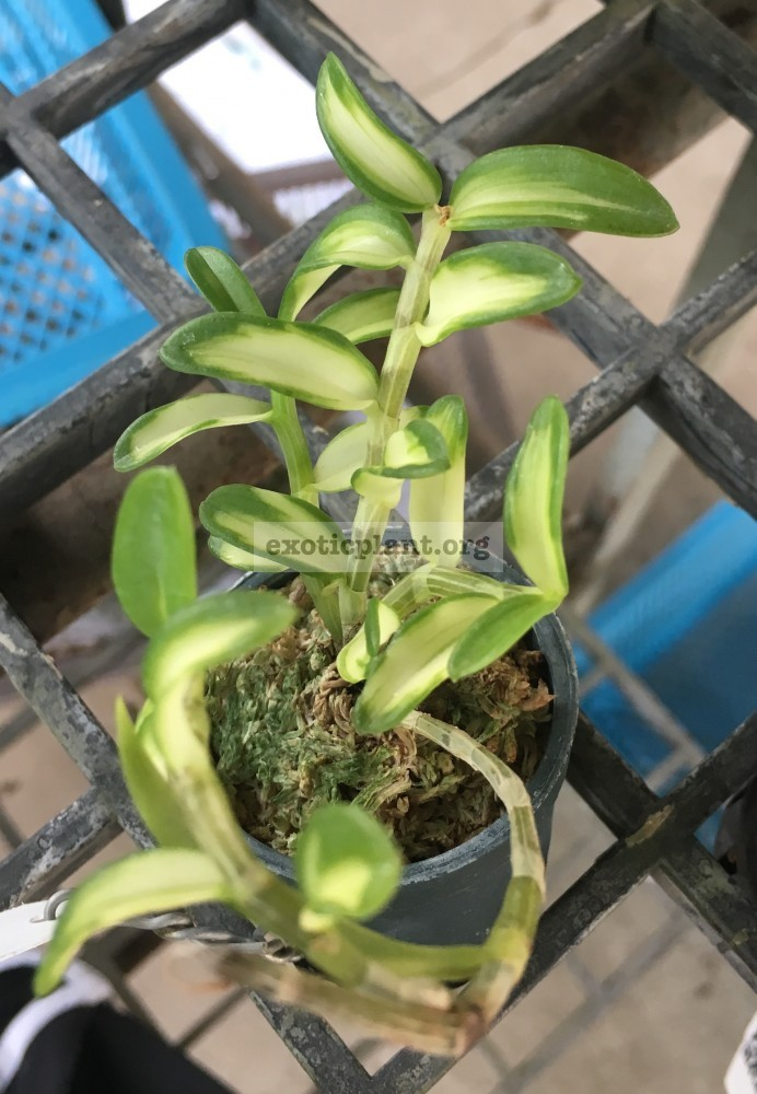 269.1 269.1 Dendrobium loddigesii variegated BS 60