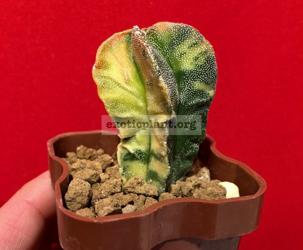 Astrophytum myriostigma variegated type#7 45-100