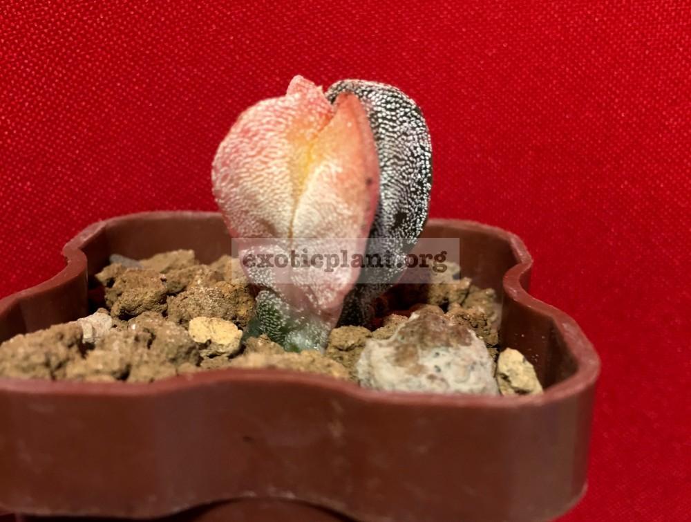 Astrophytum myriostigma variegated type#8 45-100