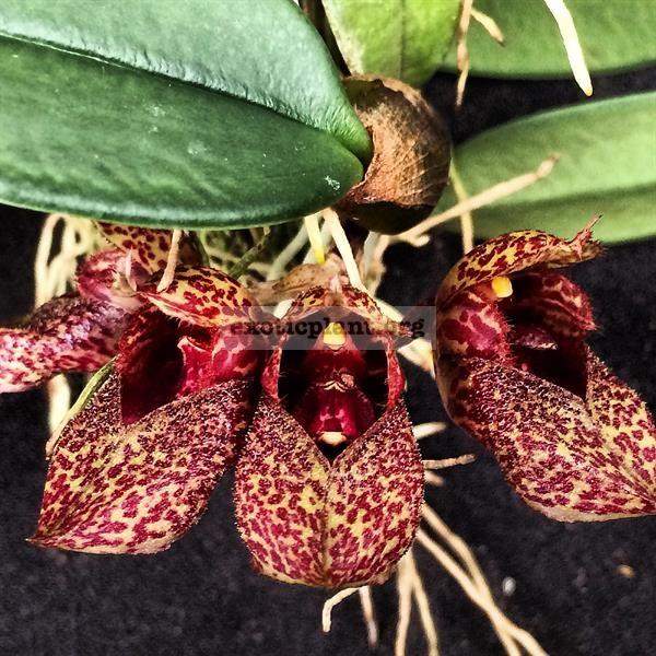 71 Bulbophyllum frostii BS 20-135