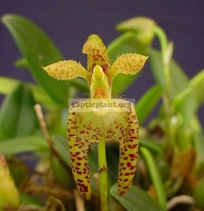 79 Bulbophyllum lasiochilum (Yellow)( JQ-234 ) BS 12-40