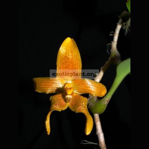 113 Bulbophyllum piestoglossum (4 bulb./set) BS 60