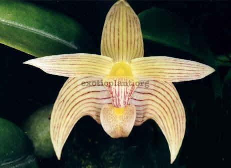 127 Bulbophyllum siamense(syn.)/lobbii BS 20