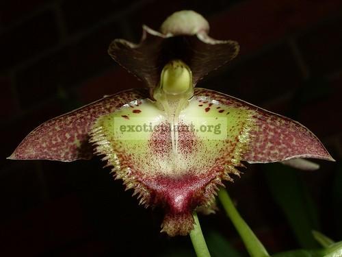 143 Catasetum fimbriatum BS 90