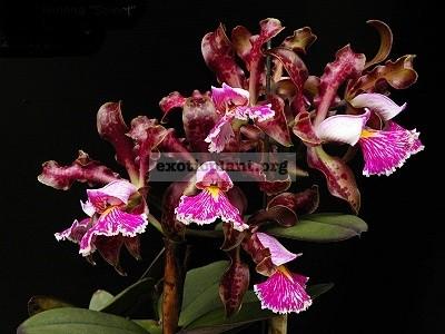 148 Cattleya schilleriana (PW-8 ) BS 60