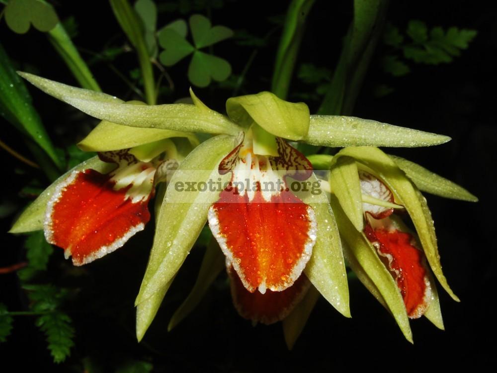 179 Coelogyne eberhardtii BS 30