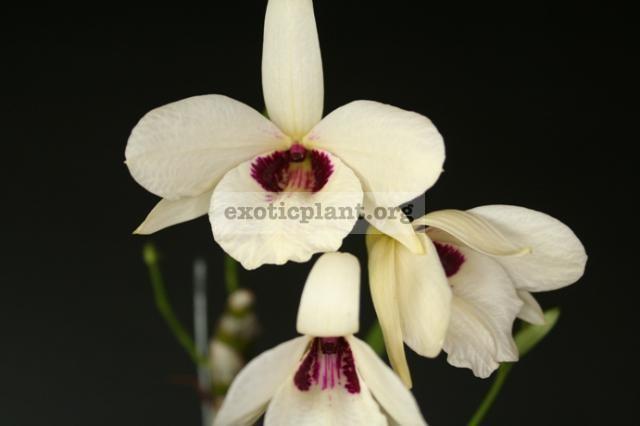 195 Dendrobium albosanguineum BS 12-40