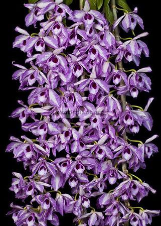 200 Dendrobium anosmum (Pink) (JQ-207) NB 40