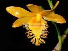 209 Dendrobium brymerianum BS 20